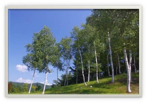白樺の林.jpg